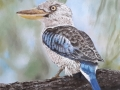 Blauwvleugel kookaburra